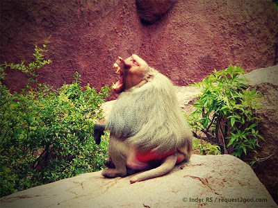 angry male Sacred baboon