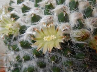 cactus en maceta mammillaria celsiana