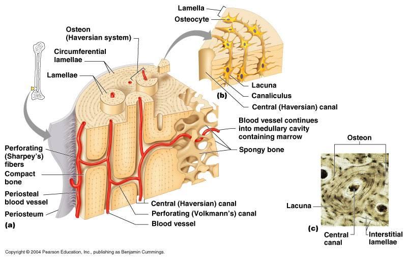 Anatomy of bone structure