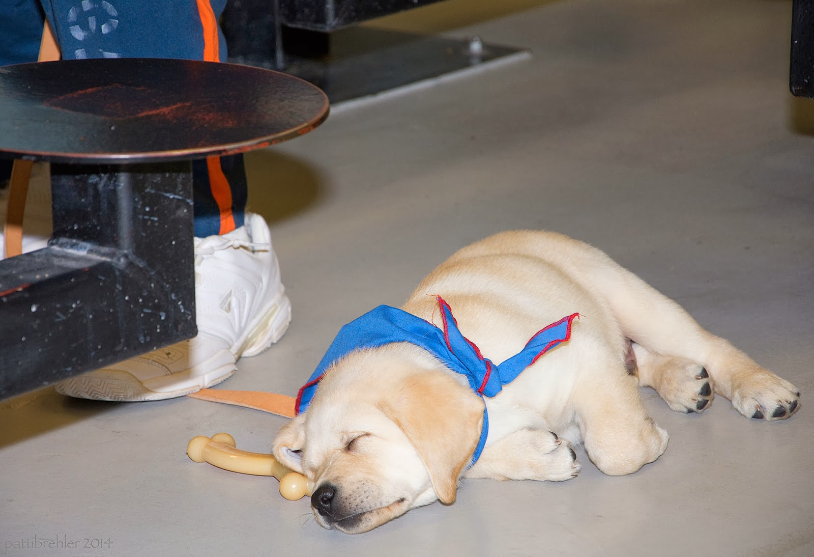 A small yellow lab puppy is asleep on a tan floor next to a stool and a man's leg. A nylabone toy is lying net to the puppy's head. The puppy is wearing a blue bandana.