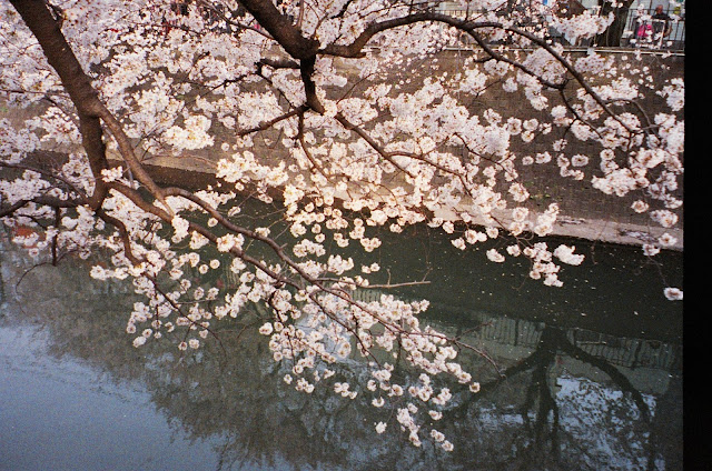 Sakura Cherry Blossoms Spring Japan film