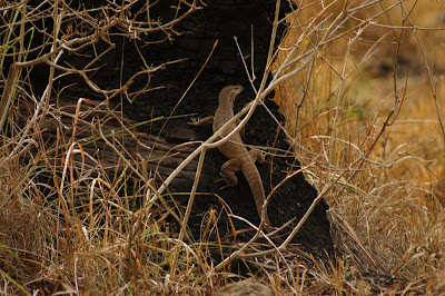 monitor lizard india, K Gudi Wilderness Camp