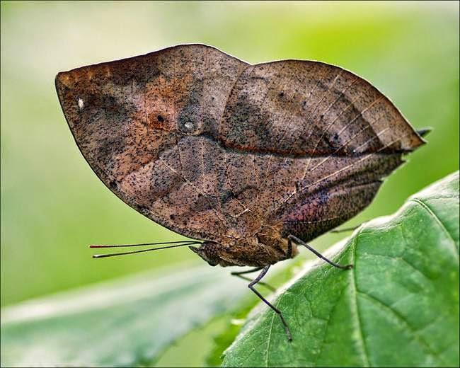 papillon-feuille