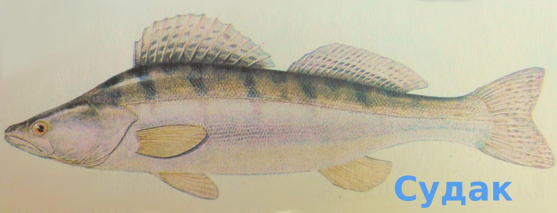 Судак. Рисунок из справочника рыболова