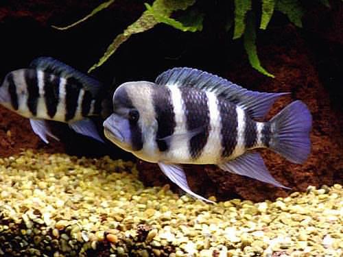 Cara Budidaya Ikan Frontosa