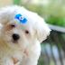 Υπάρχουν σκύλοι που παραμένουν μικροί;...