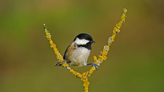 A coal tit taking a break (© NHPA/SuperStock) 639