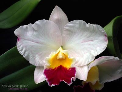 Orquídea Sophrocattleya Mini Collins 'Pink Sherbet'