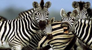 Lalat Tidak Suka Warna Belang Zebra