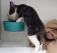 Gray and white kitten standing on hind legs to eat