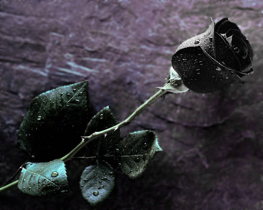 Amazing wallpapers black rose meaning for How to make black roses