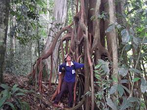 Ganjang Urat tree