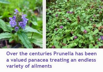 Prunella Vulgaris health benefits