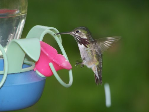 hummingbird eatting at feeder