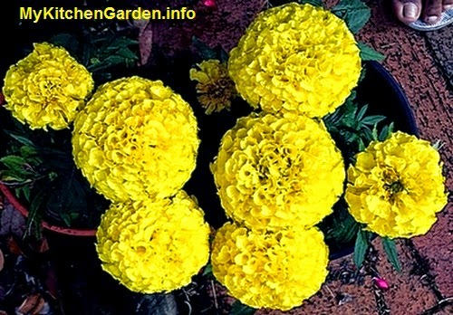 Yellow marigold flowers from a plant grown in pot.