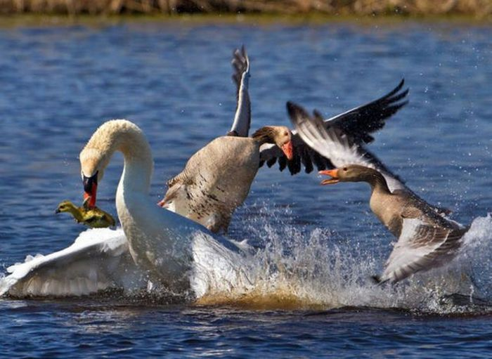 Canada Goose Attacking Dog In Boat