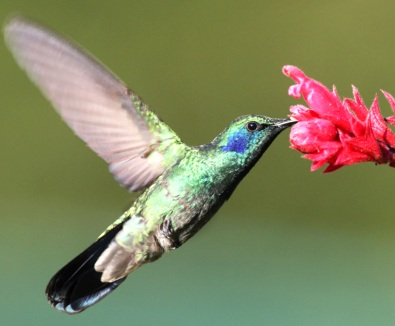 Los colibríes son atraídos especialmente por las flores de color rojo o naranja brillante
