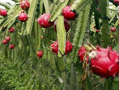 Manfaat buah naga merah untuk kesehatan dan kecantikan alami