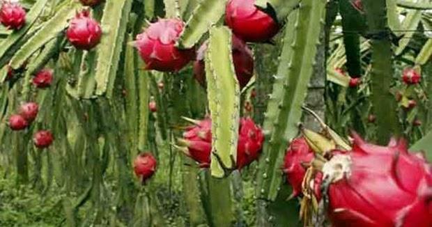 15 Khasiat Buah Naga Merah Untuk Kesehatan dan Kecantikan ...