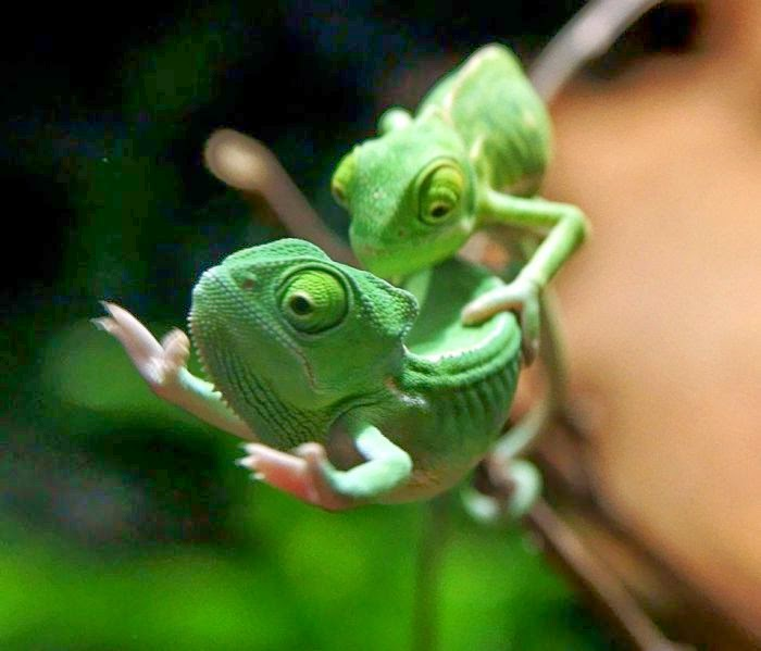 Funny animals of the week - 21 March 2014 (40 pics), funny animal pictures, two baby chameleons