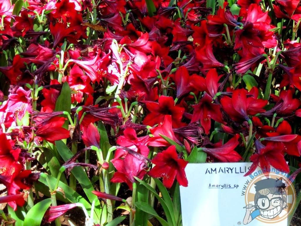 Amaryllis - Taman pustaka bunga kandaga puspa