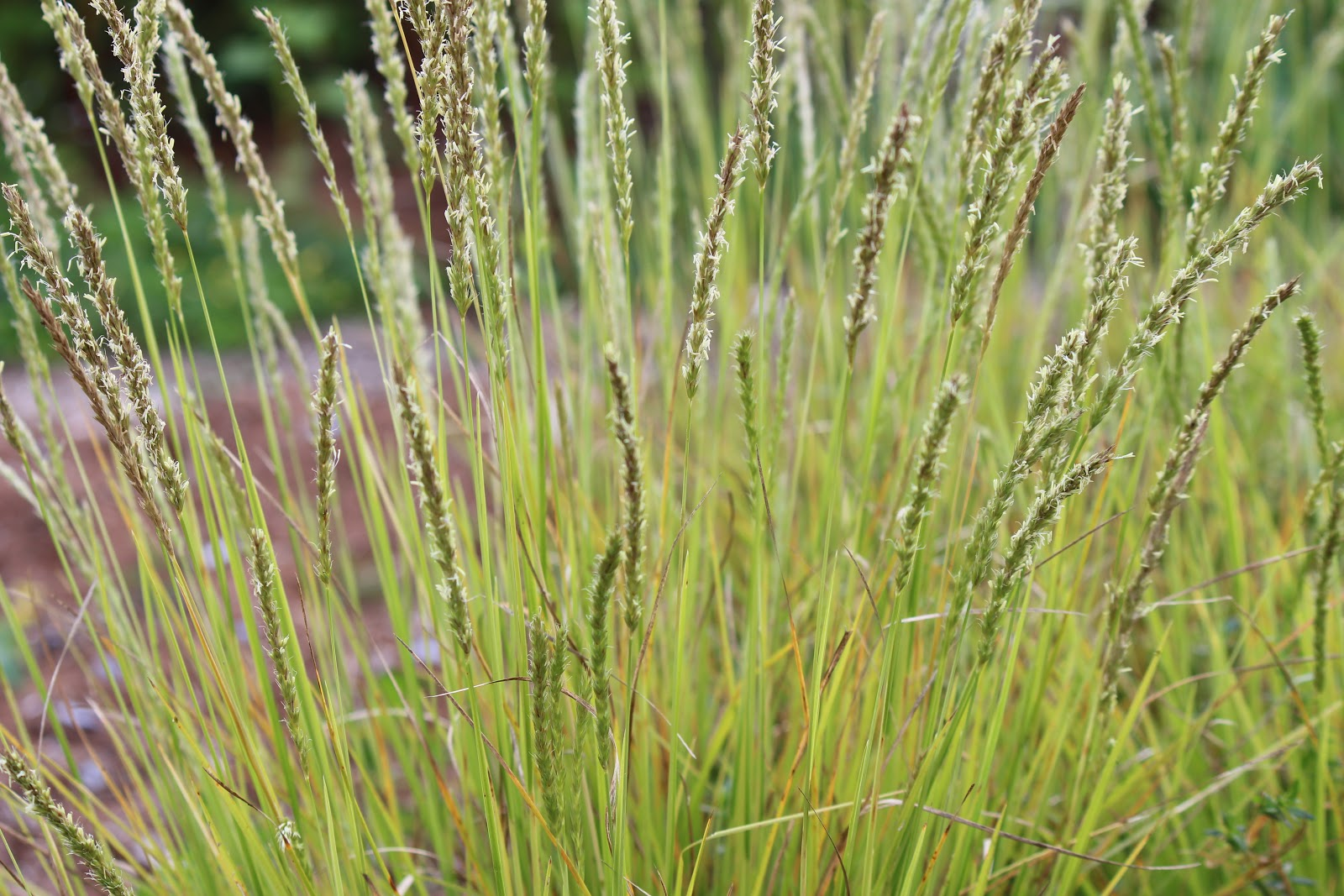Lovegrass farm close up and personal photos of ornamental for Decorative grasses