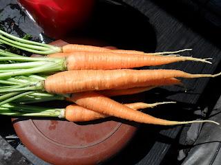 Молодая морковка