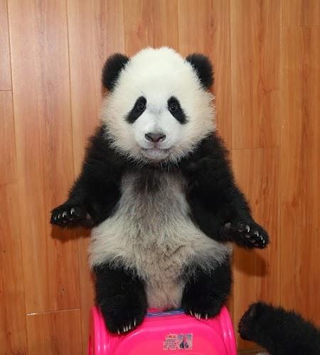 Une  Photo bébé panda