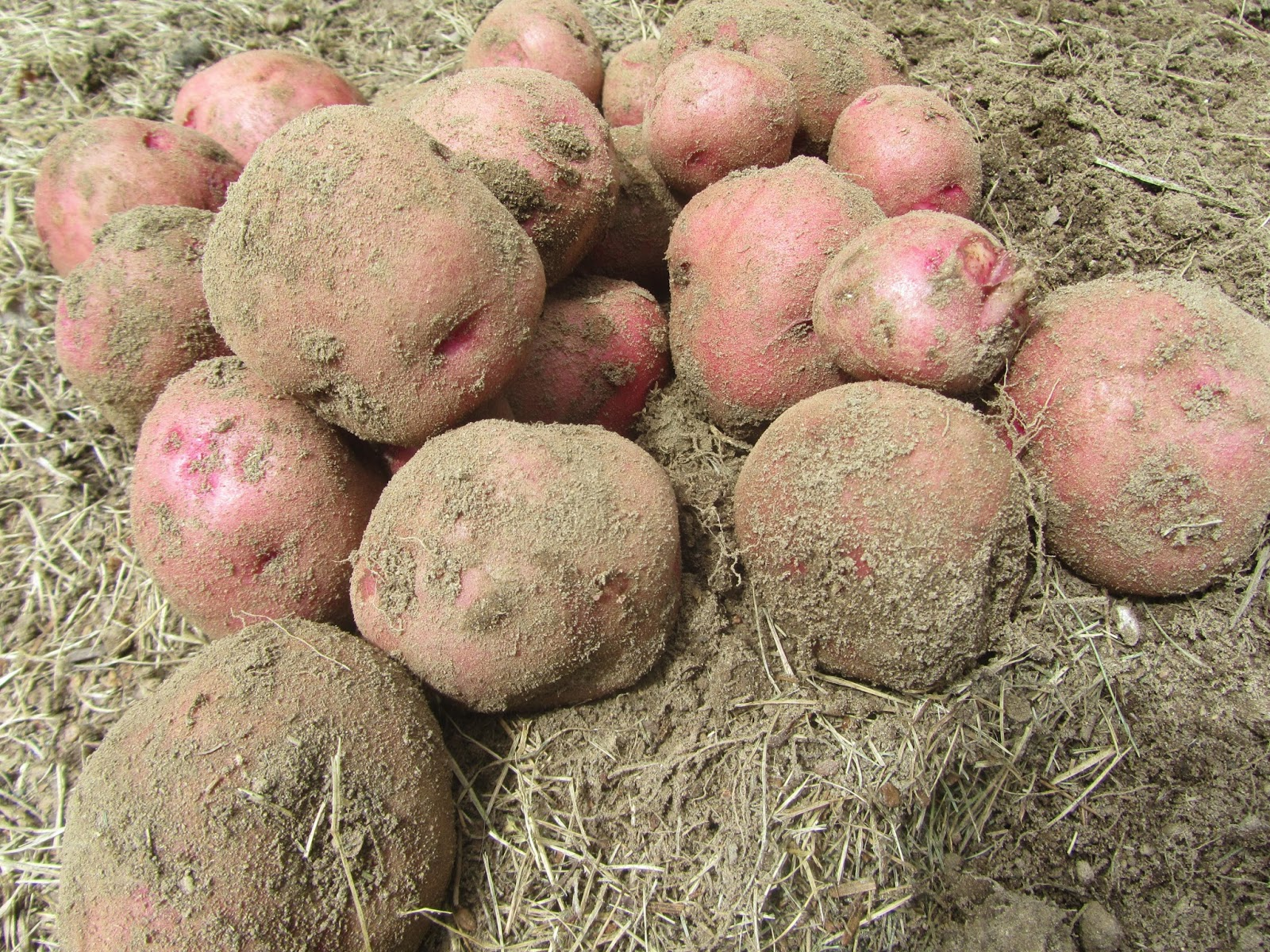 freshly harvested baby red potatoes