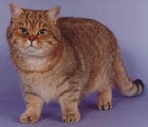 Ras-kucing-Britishshorthair