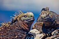 Smiling Galapagos Iguana