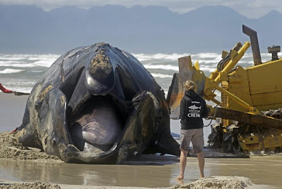 Ikan paus mati selepas diserang jerung