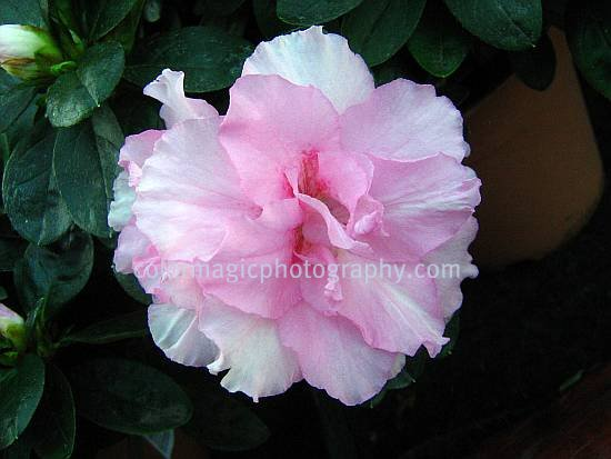Light pink azalea-rhododendron flower-close-up