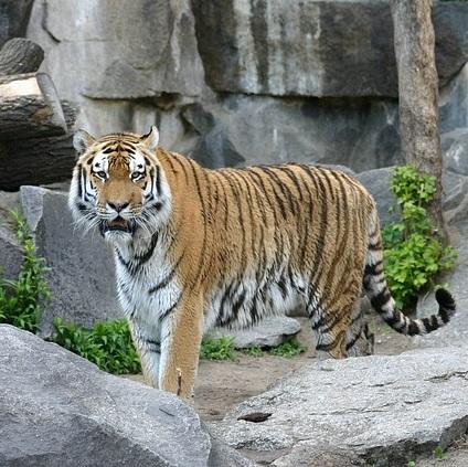 Q204 虎のドラマ