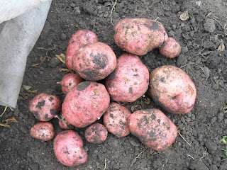 12 сентября, урожай с куста позднего картофеля народной селекции 2,8 кг