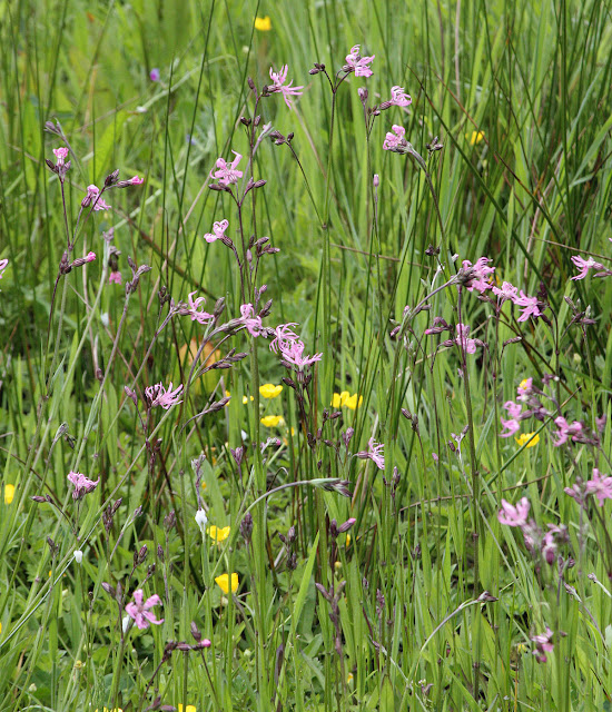 Ragged robin, Lychnis flos-cuculi, in a wet meadow in Keston. 14 May 2011. Taken with a Canon EOS 450D and a Canon EF 28-135 f/3.5-5.6 IS USM lens.