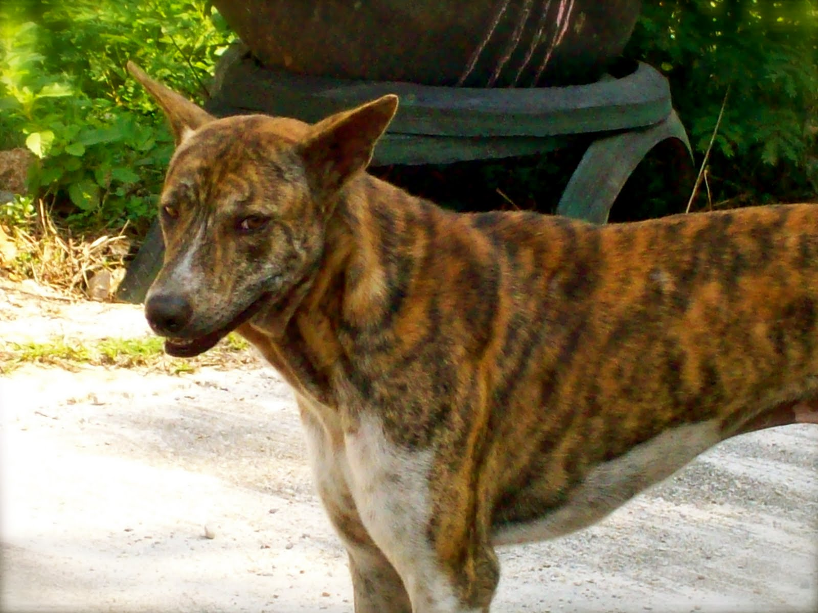 Six Months in Sangkhla: Tiger Dog and Iguana