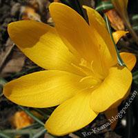 Yellow Crocus spring flower Весенний цветок крокус