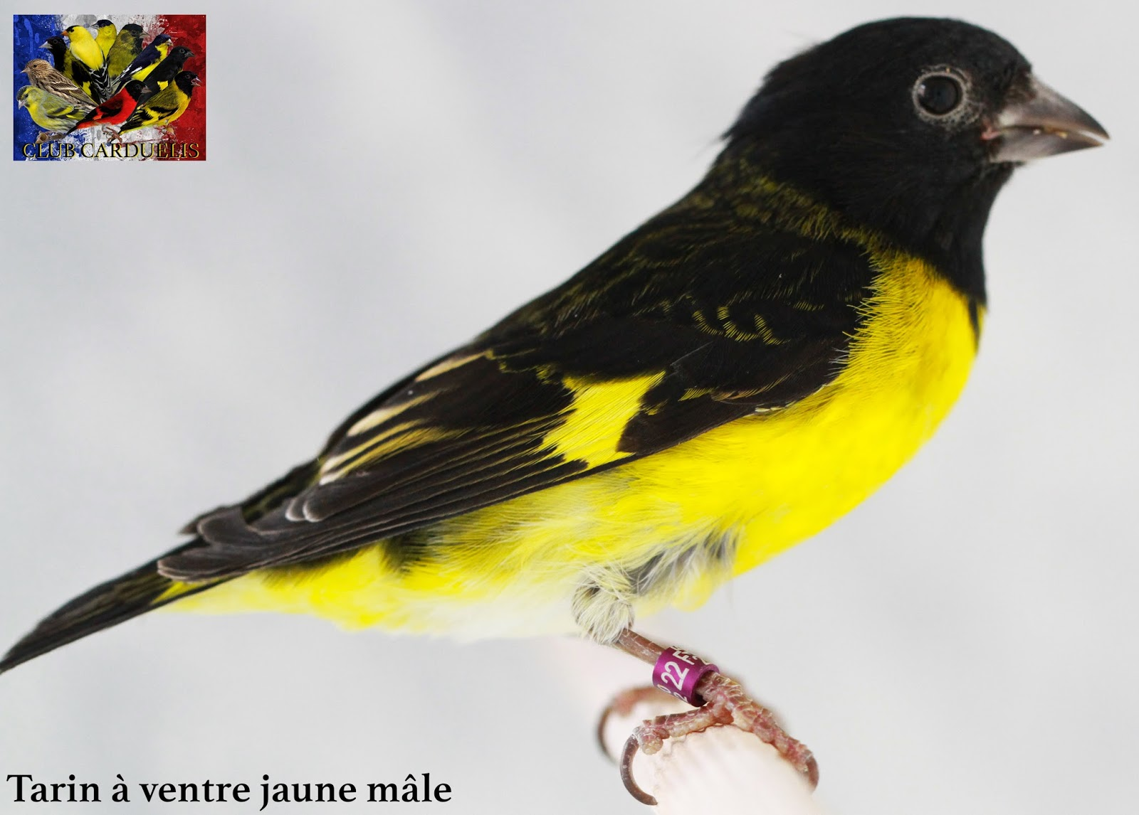 Les oiseaux o p p tarins tarin ventre jaune for Oiseau ventre jaune