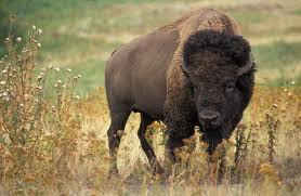 foto bison