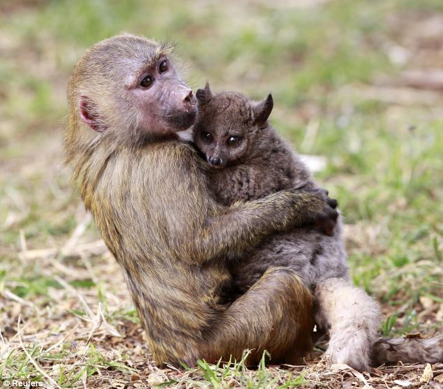 The animal zone: What an odd couple! Meet Gakii the three ...