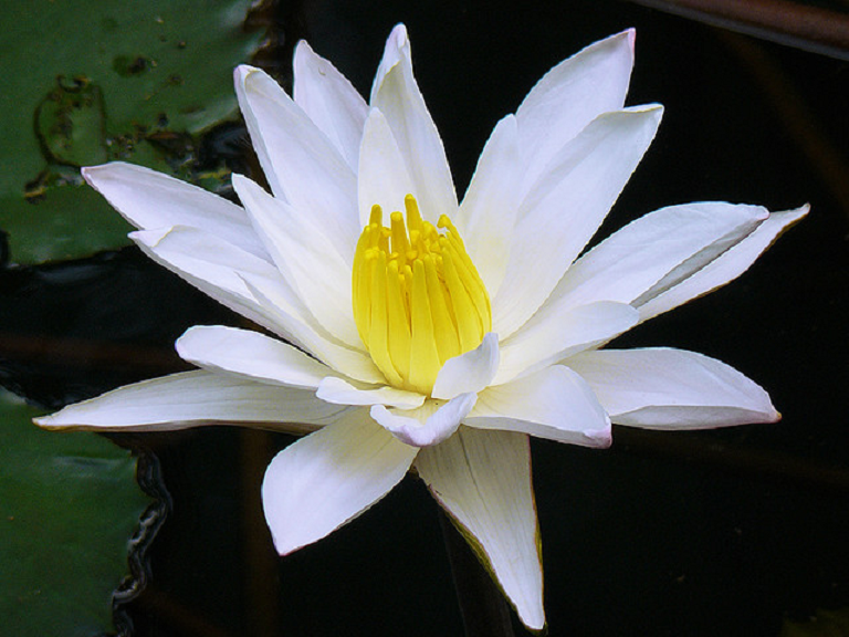 flower of bangladesh Water lily is the national flower of bangladeshwater lily is very beautiful flower and it's color is light pink or white this flower is used in various decoration event and functionsif you want it buy then you should check the online stores whe.