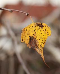 Břízka v barvách podzimu