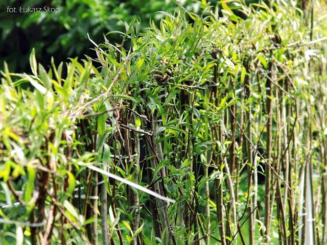 Zaplecione wierzbowe witki tworzą ogrodzenie