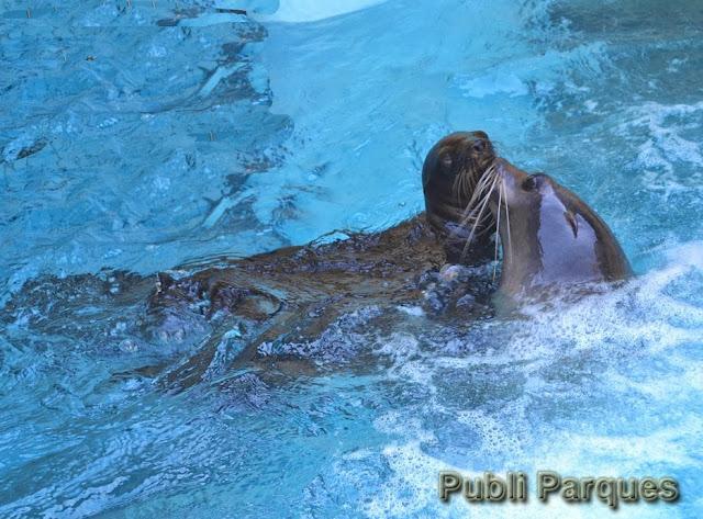 Cría de león marino en Loro Parque jugando con su madre