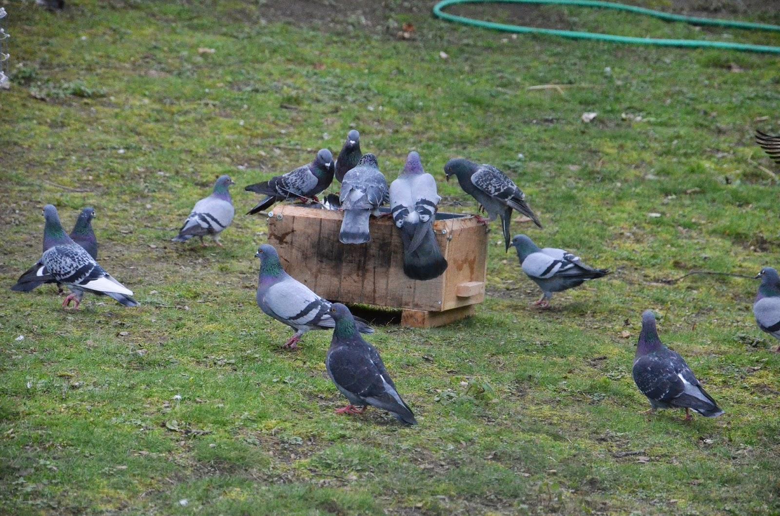 L 39 impact des pigeons sur le nourrissage des grues de - Comment se debarrasser des pigeons dans le jardin ...