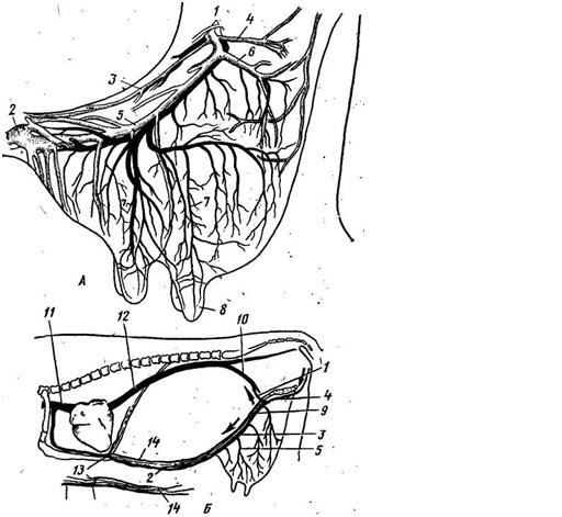 артерии и вены вымени коровы