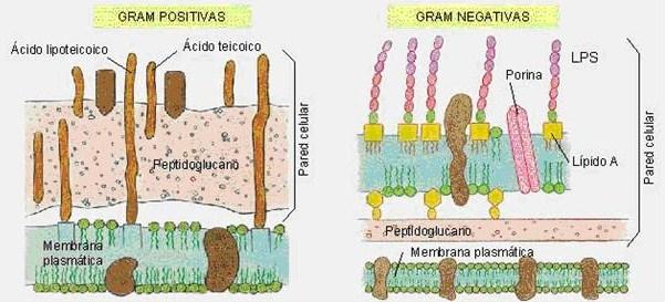 La batalla de los microorganismos for Pared y membrana celular