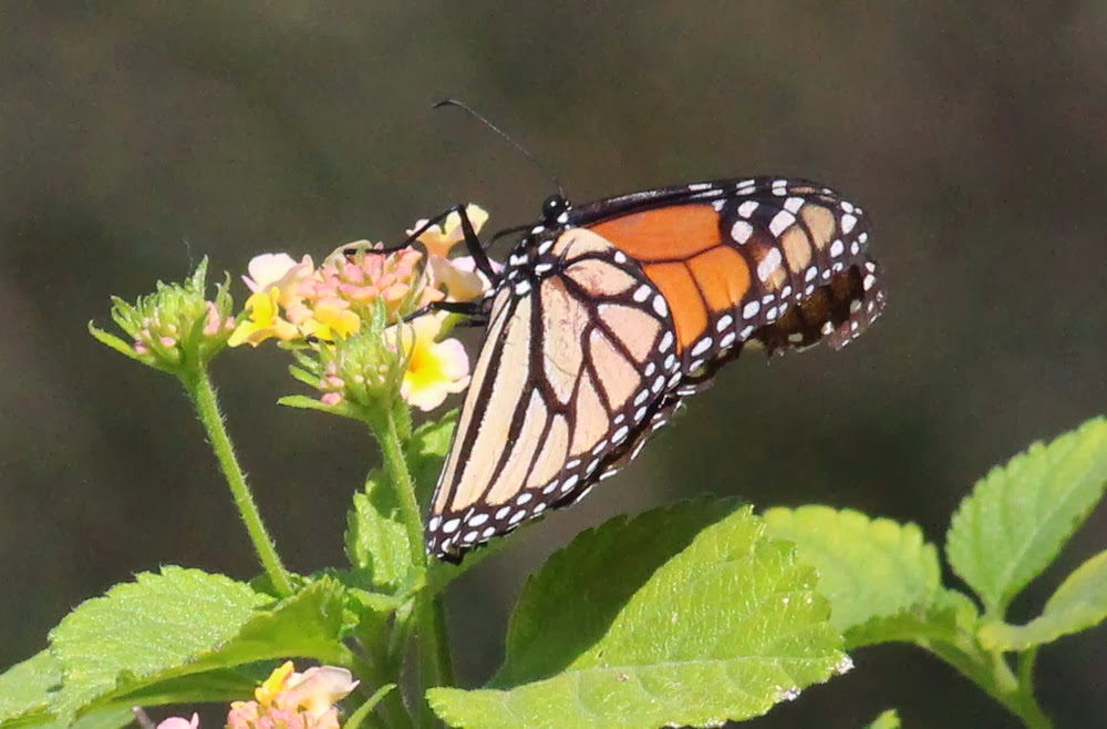 ... Monarch subfamily, Danainae. But we had the Tiger Mimic-Queen, Monarch Queen Butterfly Vs Monarch
