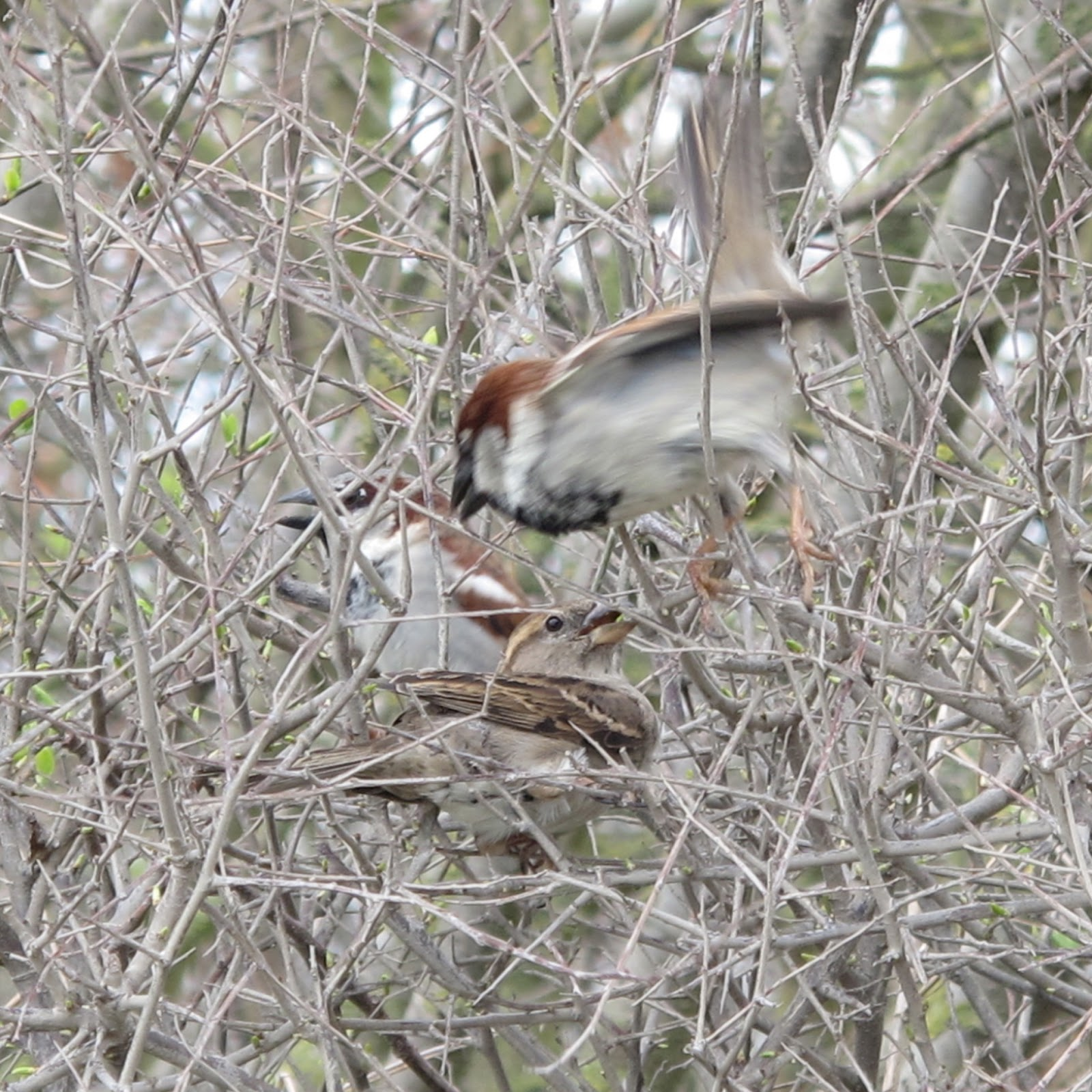 The Rattling Crow: House Sparrow communal courtship - photo#4